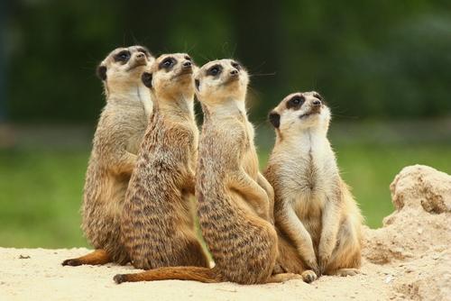 meerkats looking up at the sky