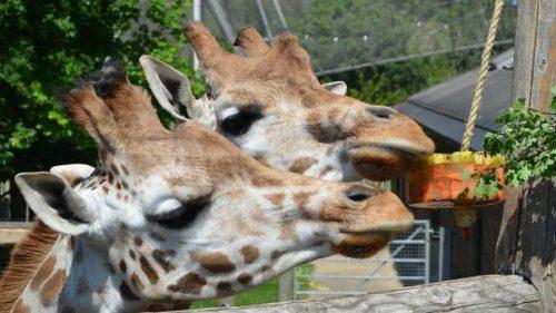 Graduate & Student Summer: London Zoo